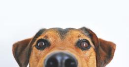 dog-838281_960_720
